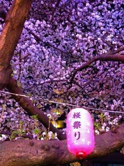 Cherry trees at Tokyo · Chikawa Street at night