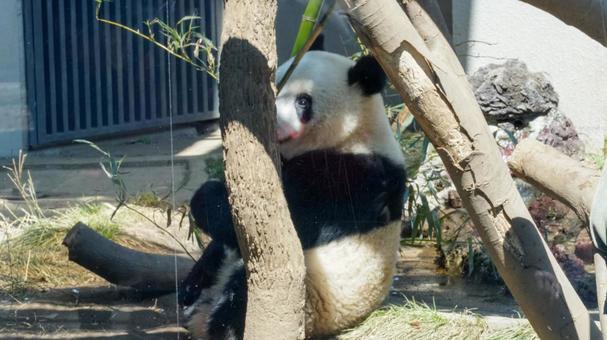 Giant panda [Ueno Zoo]