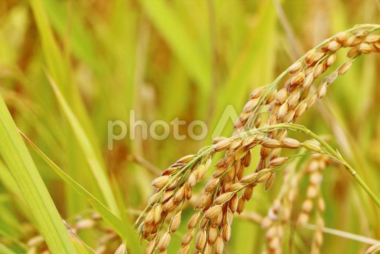 稲穂の写真