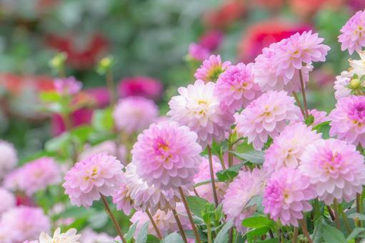 Pink dahlia flower field