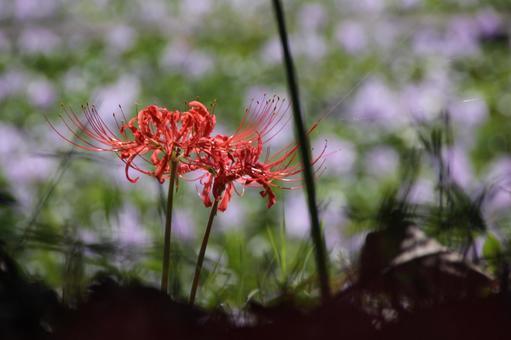 피안 꽃 4