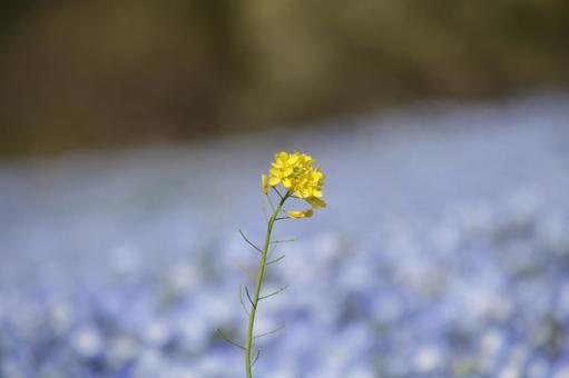 한송이의 유채 꽃