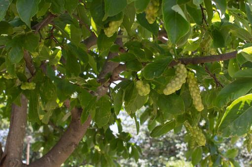 배경 주먹의 열매