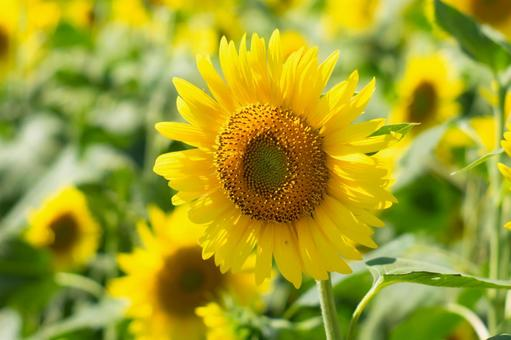 A close-up of sunflower flowers, a symbol of hot summer