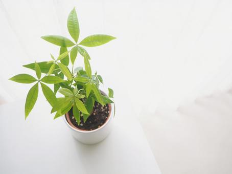 窗邊的晨光和觀葉植物(Pachira)