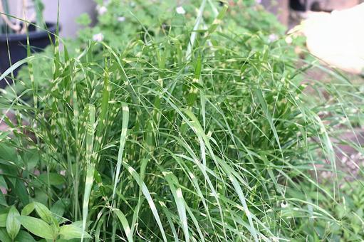 Japanese pampas grass, Japanese pampas grass
