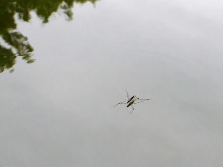 Water strider pond