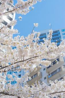 벚꽃과 푸른 하늘과 거리