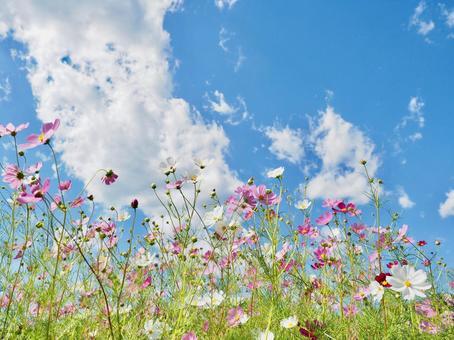 Cosmos in full bloom
