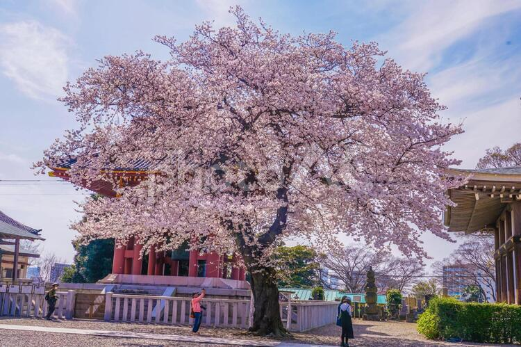 池上本門寺の満開の桜の写真
