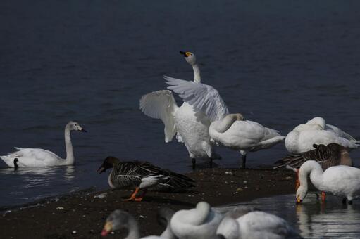 백조 날개 짓