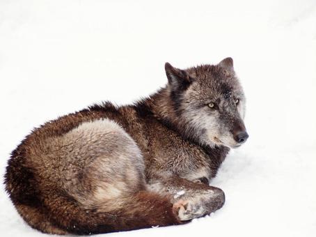 Wolf in winter 6