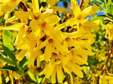 개나리 꽃
