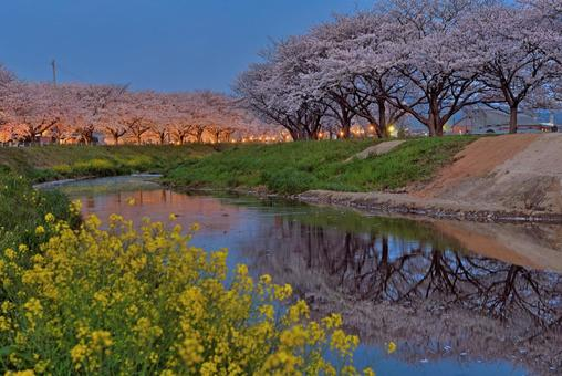 庫薩巴河上的櫻花樹的照明