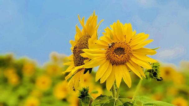 Blue sky and summer sunflowers