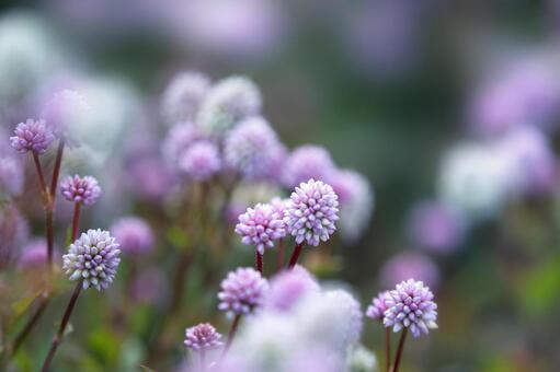 히메쯔루소바 꽃