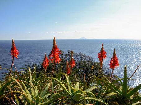 알로에의 꽃과 이즈의 바다