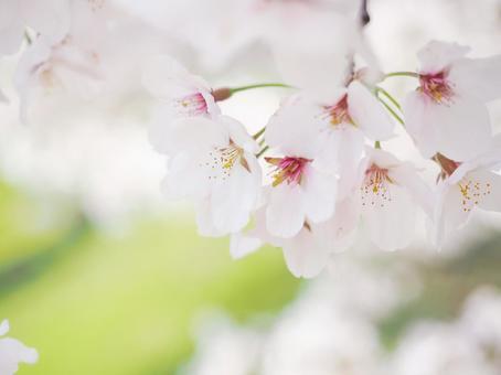 부드러운 벚꽃 업 봄 이미지