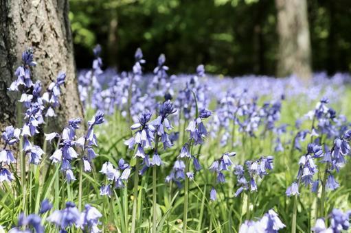 블루 벨 꽃 5