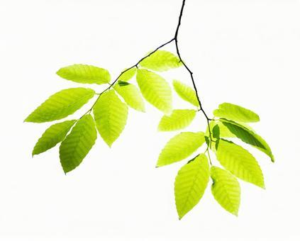 Beech leaf cut out