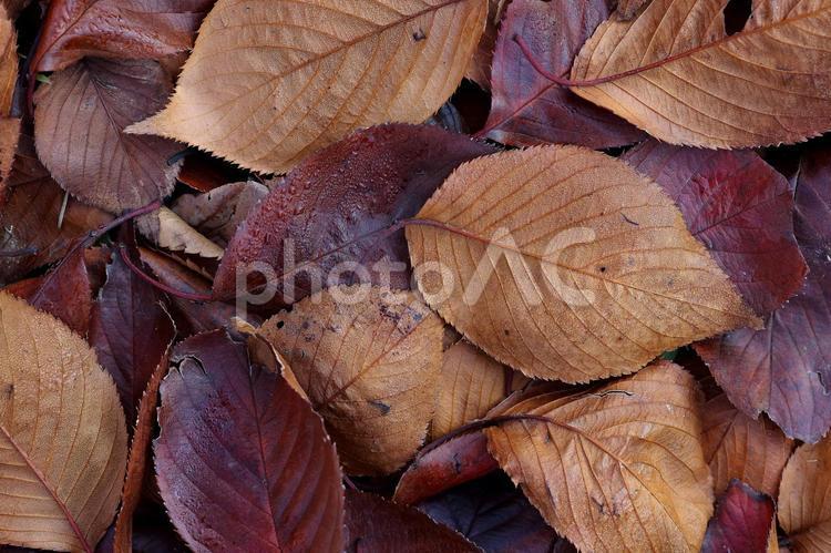 濡れ落ち葉 落葉模様 終焉 イメージ素材の写真