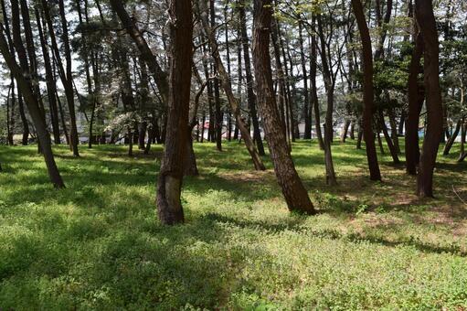 송림 해안 사방 숲