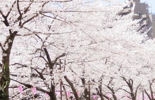 Cherry blossoms of Meguro River 3