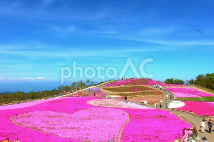 茶臼山高原の芝桜の写真
