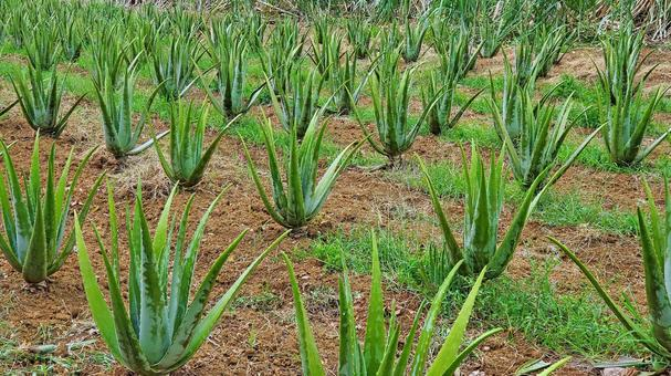 미야코 섬의 알로에 밭