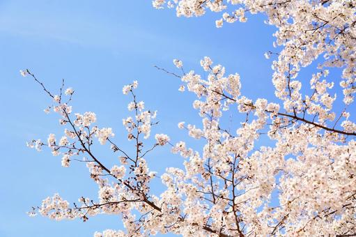 만개 한 벚꽃 14
