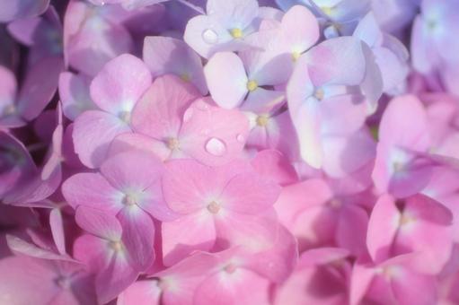 Raindrops Pink Hydrangea 1