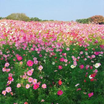 One side of cosmos field