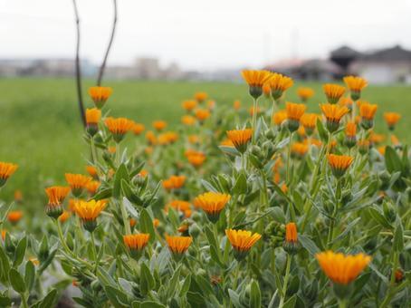 오렌지 꽃