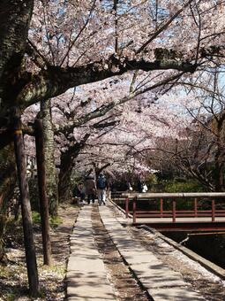 Cherry blossoms on the path of philosophy