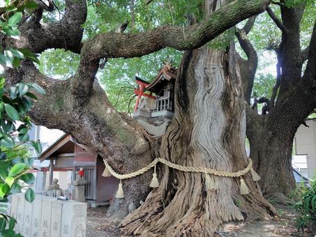 [거목] 하치 오지 신사 御旅所의 녹나무
