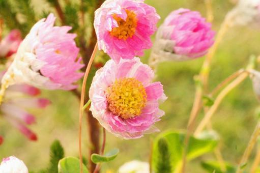 로단세 원예 꽃 분홍색 꽃 4 월 봄 화단 카야 꽃 축제