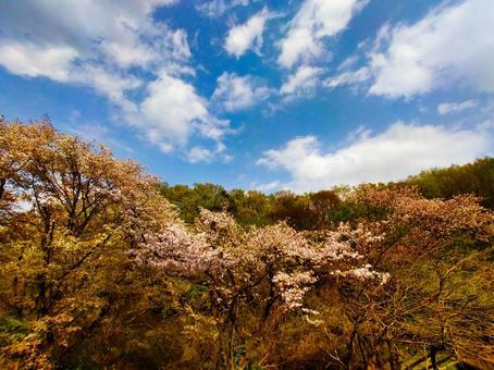 봄 풍경 신록의 산 벚꽃 多摩丘陵 광각