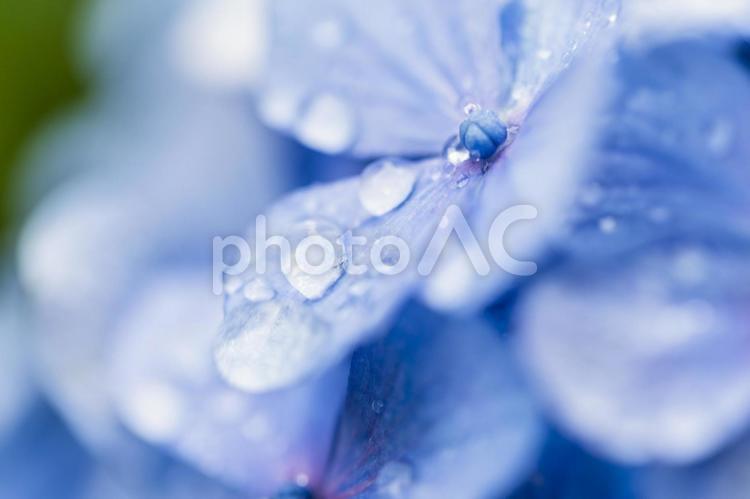 梅雨の季節に映える紫陽花の花の写真
