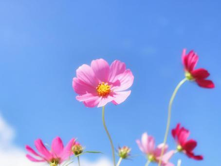Cosmos swaying in the blue sky and wind