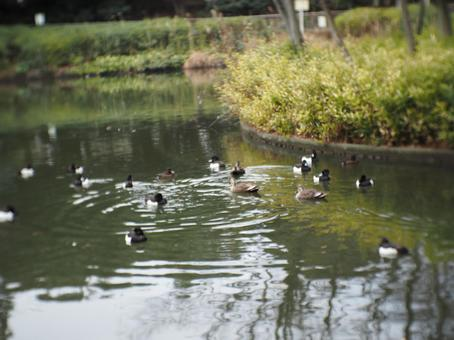 Waterfowl swimming in the pond