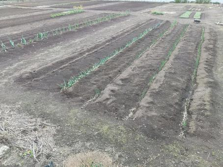 Field soil and crop sprouts