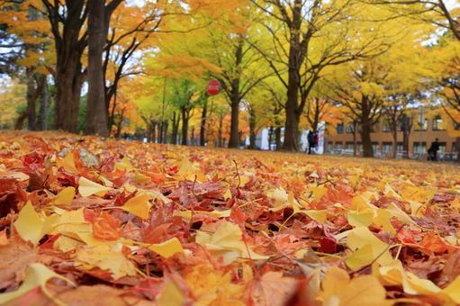 Hokkaido University's autumn leaves 6