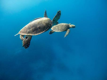 A pair of sea turtles that swim gracefully