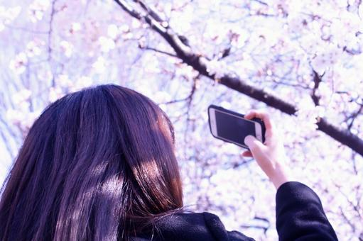 Shoot the cherry blossoms