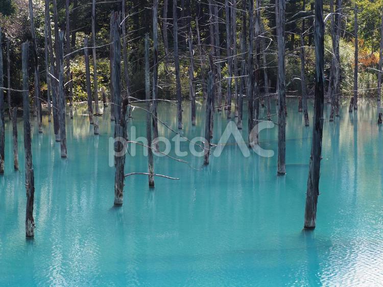 美瑛 青い池の写真