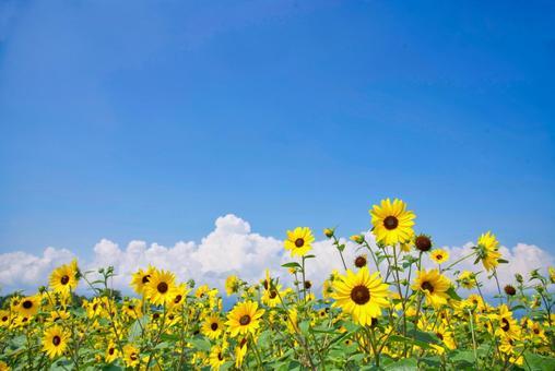 Sunflower field 01_