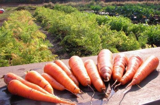 당근 당근 수확 재배 밭 텃밭