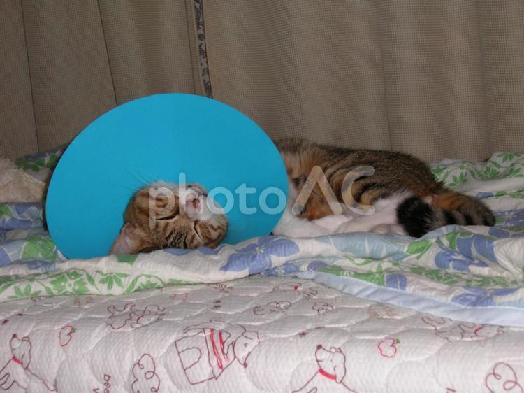 エリザベスカラーを付けた猫 2の写真