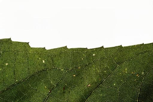 녹색 の 에센 (잎) 10 잎