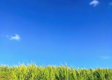 쌀과 푸른 하늘